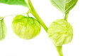 Physalis with bud,lantern  isolated on white background Royalty Free Stock Image