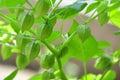 Physalis peruviana Cherry Royalty Free Stock Photography