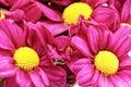 Piękna fiołkowa czerwona dalia flowers сloseup Fotografia Stock