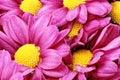 Piękna fiołkowa czerwona dalia flowers сloseup Obraz Stock
