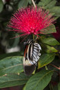 Piano key Heliconius Butterfly Stock Photos