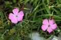 Piatra Craiului Pink (Dianthus callizonus) Stock Photos