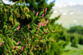 Picea abies cones Royalty Free Stock Photo