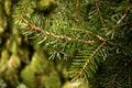 Picea omorika Royalty Free Stock Photo