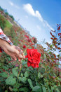 Pick a red rose flower with woman s hand in garden Stock Image