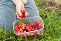 Pick up strawberries from the field Stock Images