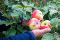 Picking apples mans farmer hand Royalty Free Stock Photo