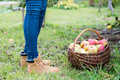 Picking apples into the wooden basket woman jeans and boot legs Stock Photography