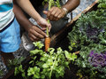Picking a baby carrot in a garden Royalty Free Stock Photo