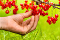Picking berries of red currant Royalty Free Stock Photo