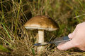 Picking of Birch bolete Stock Images