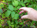 Picking blackberries in the wild by hand from bush stained fingers and minor cut from berries Stock Image