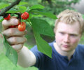 Picking cherries 2 Royalty Free Stock Images