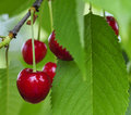 Picking cherries in Ciresoaia Royalty Free Stock Photo