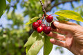 Picking cherries Royalty Free Stock Photo