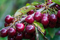 Picking cherries at Odem Royalty Free Stock Photo