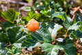 Picking cloudberry Royalty Free Stock Photo