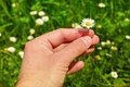 Picking daisies hand holding a freshly picked daisy against an out of focus field with many more Royalty Free Stock Images