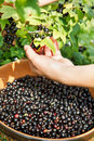 Picking fresh  black currant Royalty Free Stock Photos