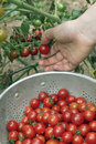 Picking Garden Cherry Tomatoes Royalty Free Stock Photo