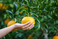Picking orange fruit from left a woman holding on tree Stock Photo