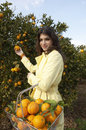 Picking Orange from Tree Royalty Free Stock Images
