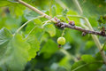 Picking Redcurrant at Odem Royalty Free Stock Photo