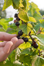 Picking ripe berries of black currant Royalty Free Stock Photo