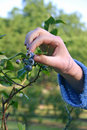 Picking Ripe Blueberries Stock Images