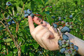 Picking Ripe Blueberries Stock Image