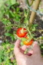 Picking ripe tomatoes detail of male hand from home garden in sunny day Stock Image