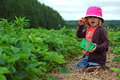 Picking strawberries picture of little girl on the farm Royalty Free Stock Images