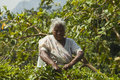 Picking tea leaves nuwara eliya sri lanka may elderly woman on plantation on aug in nuwara eliya sri lanka ceylon is one of Stock Photo