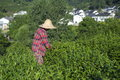 Picking tea in longjing a woman village Stock Image