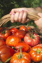 Picking tomatoes in basket Royalty Free Stock Photo