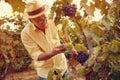 Picking white grapes in vineyard Royalty Free Stock Photo
