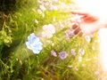 Picking Wildflowers in Meadow Early Morning Sunlig Royalty Free Stock Photo