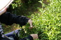 Picking young tea leaves farmer for raw material Stock Image