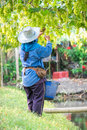 Picks green grapes harvest farmer is harvesting ripe in vineyard in thailand Royalty Free Stock Image