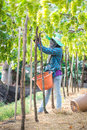 Picks green grapes samut sakhon thailand april unidentified thai woman in vineyard on april in samut sakhon thailand Royalty Free Stock Photos