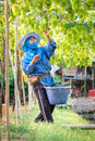 Picks green grapes samut sakhon thailand april unidentified thai woman in vineyard on april in samut sakhon thailand Royalty Free Stock Photo