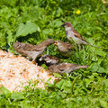 Picnic for sparrows Royalty Free Stock Photo