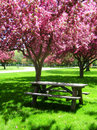 Picnic Table under Pink Flowering Trees Stock Images