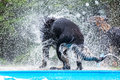 Backside of a black dog at a pool who shakes the wet fur Royalty Free Stock Photo