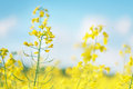 Picture of canola flower and yellow field photo Royalty Free Stock Photo