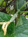 stock image of  Cucumber salad flowering