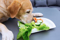 Labrador retriever eats vegetables from a plate Royalty Free Stock Photo