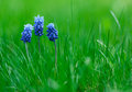 Picture of muscari with green grass low depth field Royalty Free Stock Image