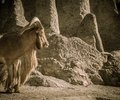 Picture of an old mountain goat Royalty Free Stock Photo
