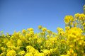 This is a picture of rape blossoms Stock Image